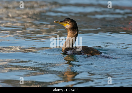 Shag (Phalacrocorax aristotelis) swimming in Lerwick harbour, Shetland. October. - Stock Photo