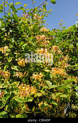 Wild honeysuckle blooming hedgerow. Leaves showing signs of mineral leaching due to excessive rain. - Stock Photo