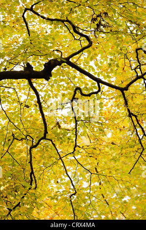 Branches and autumn beech leaves (Fagus sylvatica) at Ashridge Forest In Hertfordshire, England. October. - Stock Photo