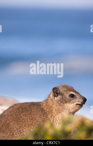 Rock hyrax or dassie sitting on rocks at the coastline, with the ocean visible in the background - Stock Photo