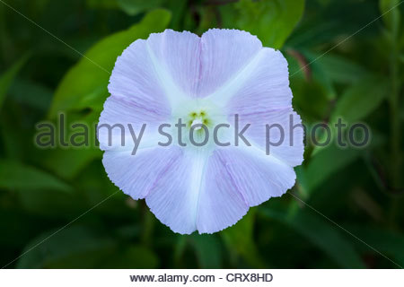 Common Morning Glory or Ipomoea purpurea growing in Rouge National Urban Park in Toronto Ontario Canada. - Stock Photo