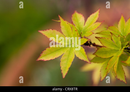 Acer palmatum 'Sango-kaku'. Coral bark maple - Stock Photo