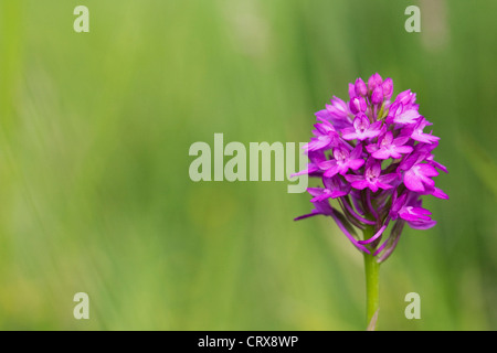 Anacamptis pyramidalis. Pyramidal orchid in a wildflower meadow. - Stock Photo
