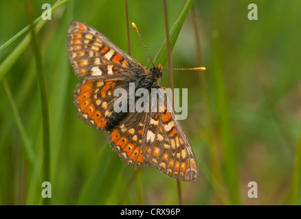Male Marsh fritillary butterfly resting on reed stem - Stock Photo