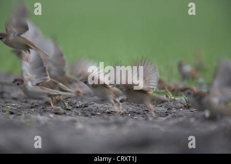 A flock of Eurasian Tree Sparrow, Passer montanus, take to flight, East Yorkshire, UK - Stock Photo
