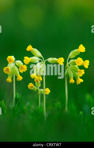 A patch of cowslips in spring UK - Stock Photo