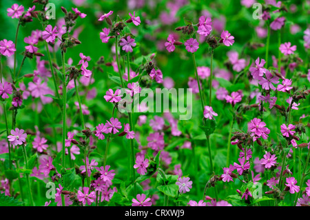 red campion silene dioica perennial - Stock Photo