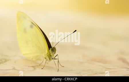 Pale Yellow Butterfly Upclose - Stock Photo