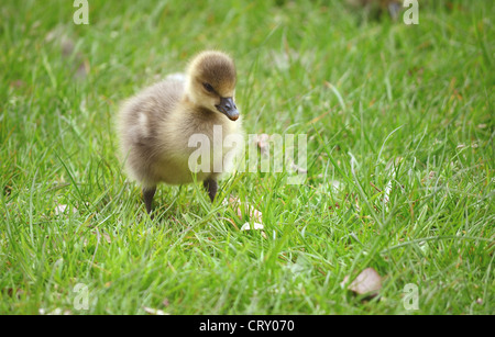 Close up of young Greylag gosling on grass. - Stock Photo