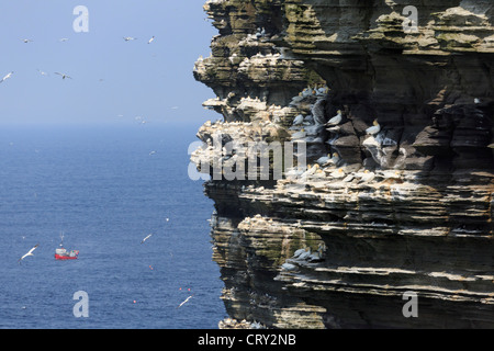 View of dramatic seacliffs with colony of Gannets nesting on ledges in early summer at Noup Head Westray Island - Stock Photo