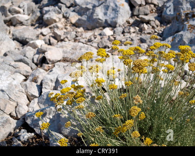A bush of blossoming daisy Helichrysum italicum among rocks - Stock Photo