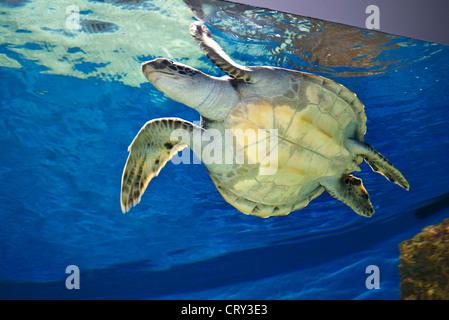 Green Sea turtle ( an endangered species) in Monterey Bay Aquarium Monterey California USA - Stock Photo