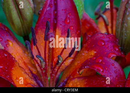Lilium 'Orange Matrix' with Water Droplets - Stock Photo
