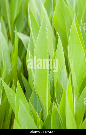 leaves of canna lily - Stock Photo