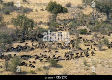 Aerial view of large herd of Buffalo in open savanna - Stock Photo