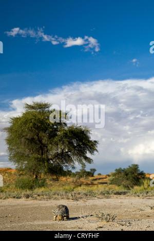 Leopard tortoise followed by a kalahari tent tortoise in Kalahai landscape (Geochelone pardalis, Psammobates Oculifer) - Stock Photo