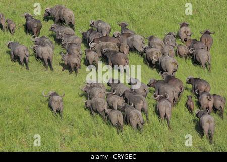 Aerial view of Buffalo herd running - Stock Photo