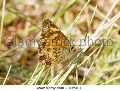 Silvery Checkerspot Chlosyne nycteis Butterfly Arizona - Stock Photo