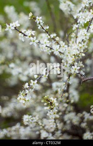 Hawthorn blossom, Crataegus monogyna, in springtime in Swinbrook in the Cotswolds, Oxfordshire, UK - Stock Photo