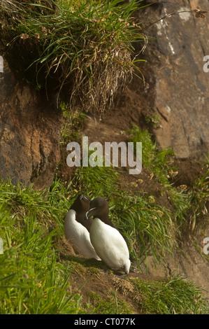 Razorbill sitting on cliff edge - Stock Photo