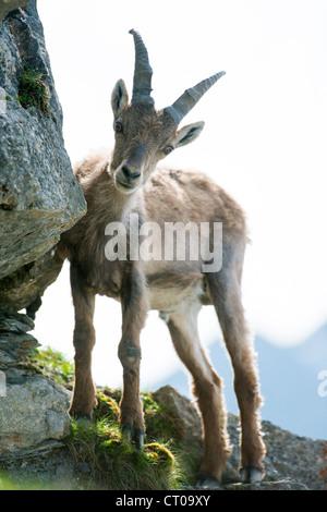 young alpine ibex (lat. Capra ibex) on Brienzer Rothorn, Switzerland - Stock Photo