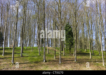 Copse of young beech trees, Fagus sylvatica, and conifers in springtime in Swinbrook in the Cotswolds, Oxfordshire, - Stock Photo