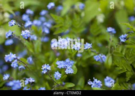 Forget-Me-Not, Myosotis arvensis, spring wildflowers in the Cotswolds, Oxfordshire, UK - Stock Photo