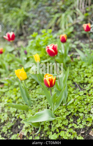 Tulips, Tulipa, spring flowers in the Cotswolds, Oxfordshire, UK - Stock Photo