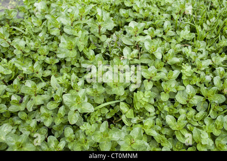 Wild Watercress growing in a watercress bed in a springwater stream at Swinbrook, the Cotswolds, UK - Stock Photo