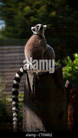 Ring tailed lemur at Paradise Wildlife Park, Broxbourne - Stock Photo