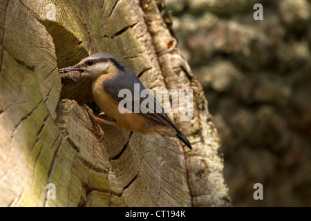 Nuthatch, Sitta europaea building its nest - Stock Photo