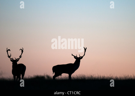 Fallow Deer (Dama dama) adult pair, mating, buck mounting ...