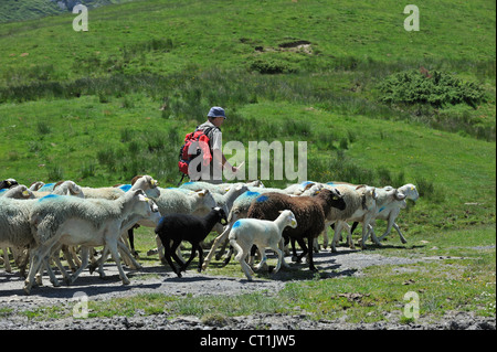 Shepherd herding flock of sheep to pasture up in the mountains along the Col du Soulor, Hautes-Pyrénées, Pyrenees, - Stock Photo