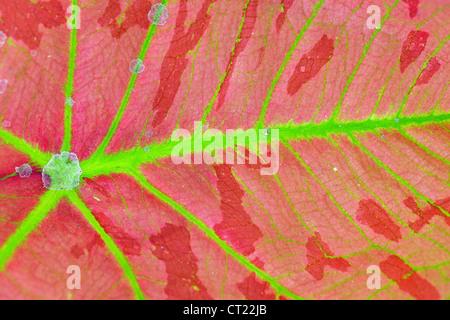 vivid and colorful caladium leaf background - Stock Photo