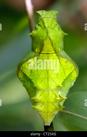 Troides helena cerberus butterfly pupa strange smiling human face - Stock Photo