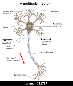 Motor neuron with details of myelin and synapse stock photo motor neuron motor neuron labeled stock photo ccuart Gallery
