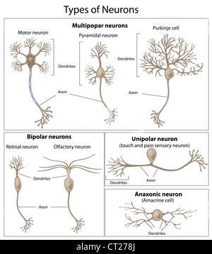 Unipolar neuron stock photo royalty free image 66989221 alamy types of neurons stock photo ccuart Images