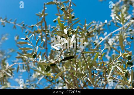 Avocado Plant - Stock Photo