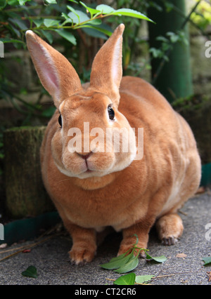 Domestic male rabbit - Stock Photo