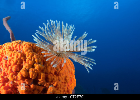 Fan Worm on red Sponge, Spirographis sp., Caribbean Sea, Dominica - Stock Photo