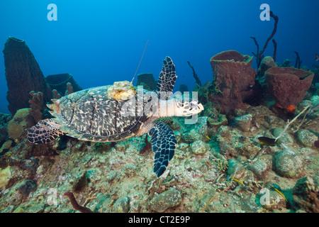 Hawksbill Turtle tagged with Transmitter, Eretmochelys imbriocota, Caribbean Sea, Dominica - Stock Photo