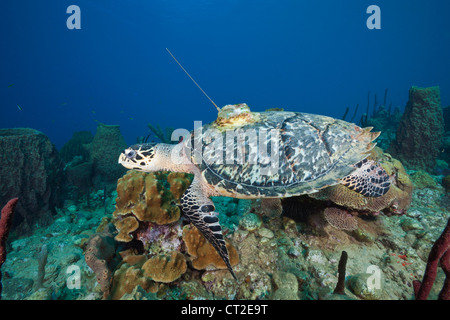 Hawksbill Turtle tagged with Transmitter, Eretmochelys imbriocota, Caribbean Sea, Dominica - Stock Photo