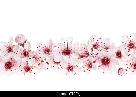 Border of beautiful cherry blossom flowers on white background - Stock Photo