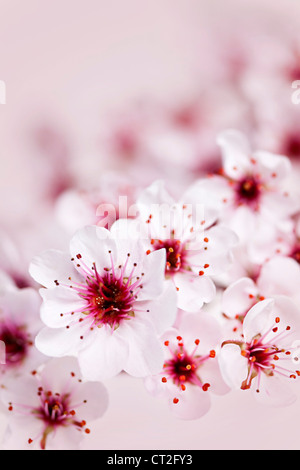 Cluster of delicate pink cherry blossom flowers - Stock Photo