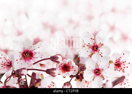 Beautiful pink cherry blossom flowers blooming in spring - Stock Photo