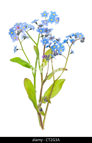 Arrangement of forget-me-not flowers with leaves isolated on white background - Stock Photo