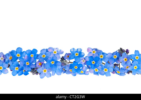 Arrangement of blue forget-me-not flowers isolated on white background - Stock Photo