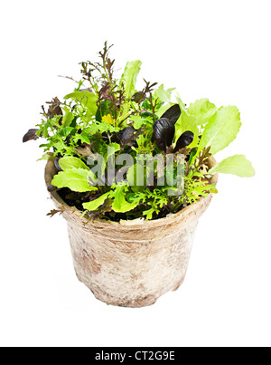 Potted seedlings of garden lettuce and salad greens isolated on white - Stock Photo