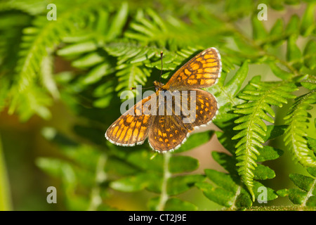 Heath Fritillary Melitaea athalia perched on vegetation at Halse Combe, Exmoor in June. - Stock Photo