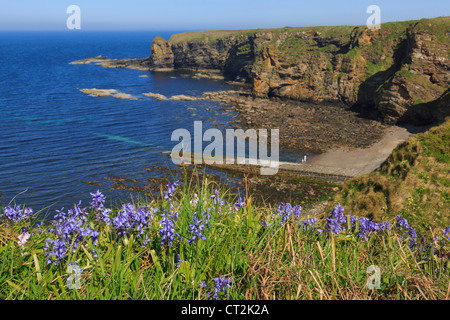 View east along rocky coastline from Dunnet Head with Bluebell flowers flowering in early summer. Brough Caithness - Stock Photo